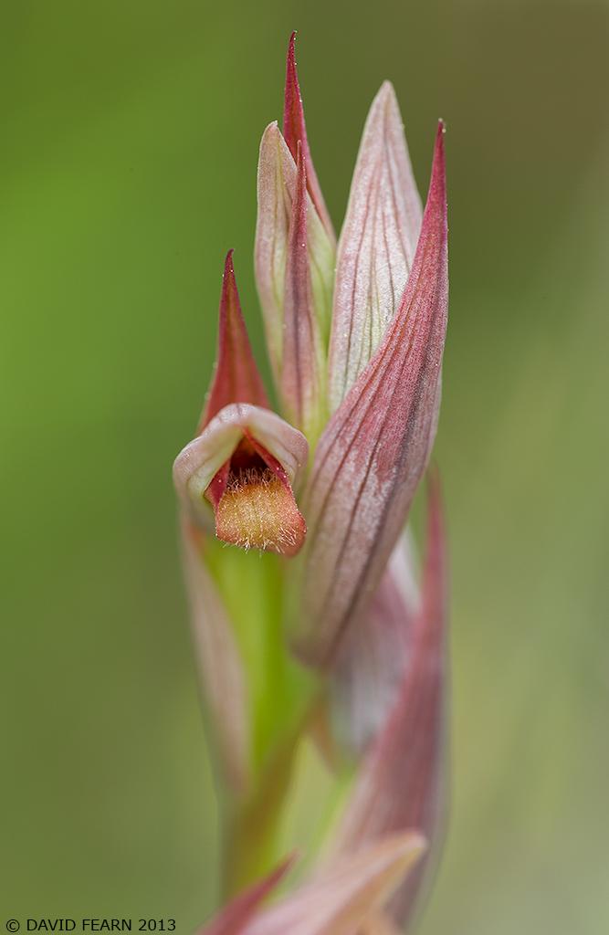 SerapiasParviflora1024NFnew