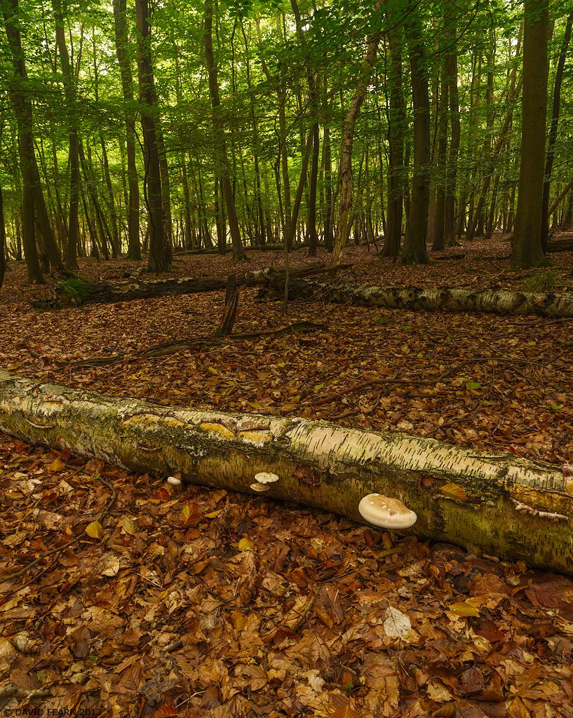 BernwoodBeeches&Fungus1024