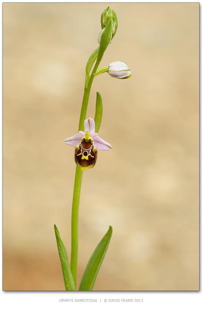 Ophryssamiotissa31024