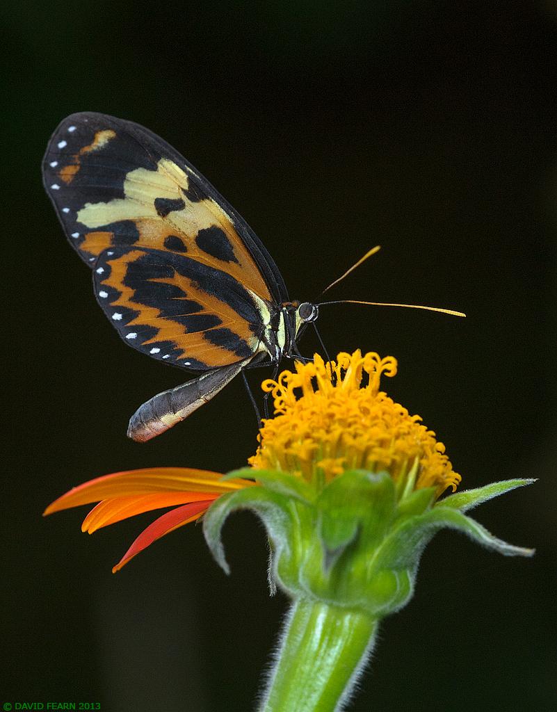 TigerwingonBlack1024