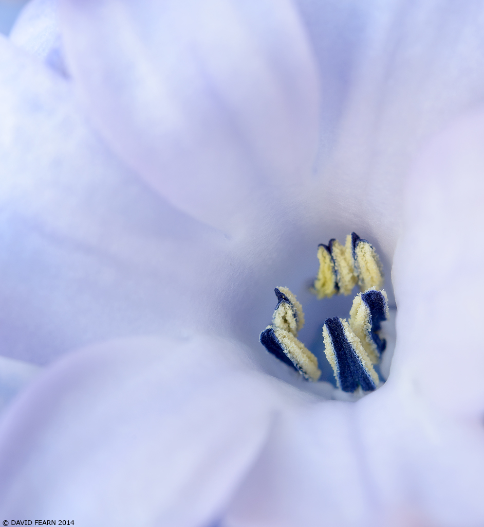 HyacinthDetail31024