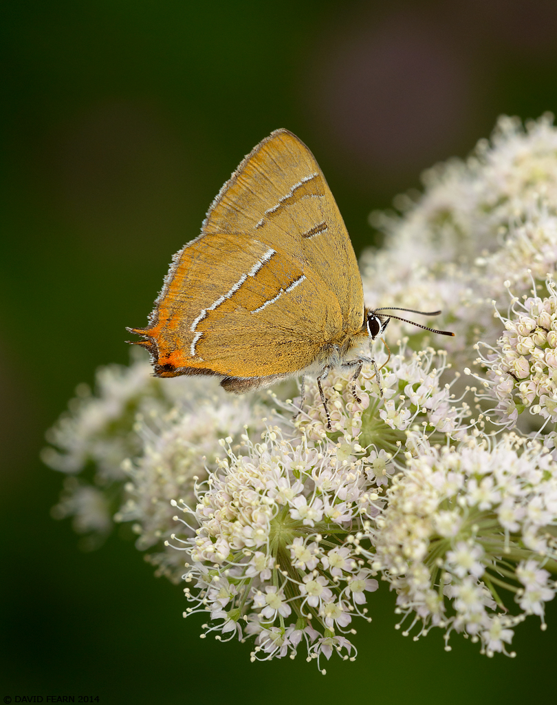 BrownHairstreak1OM1024