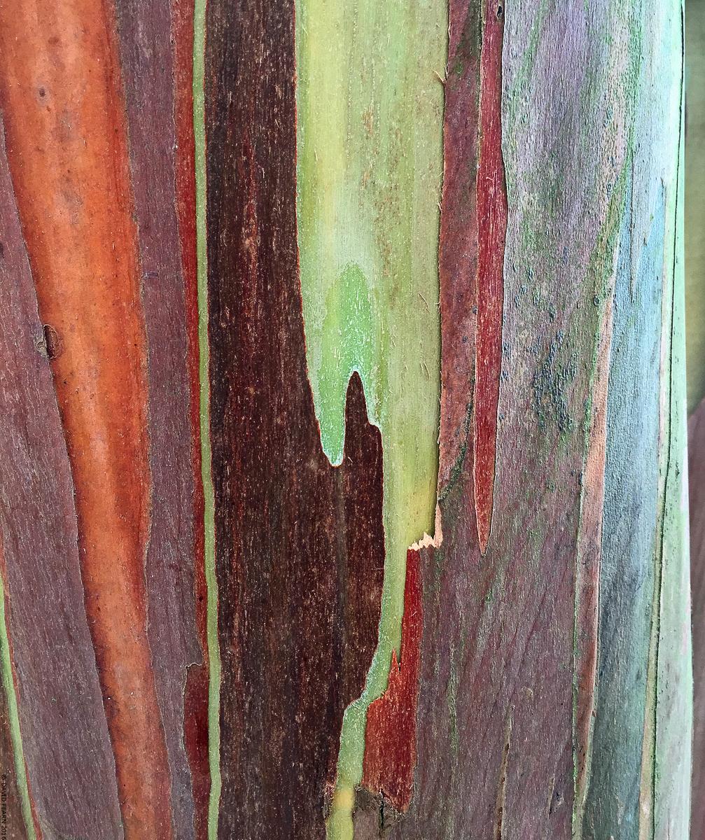 EucalyptusperrinianaBarkKew11200