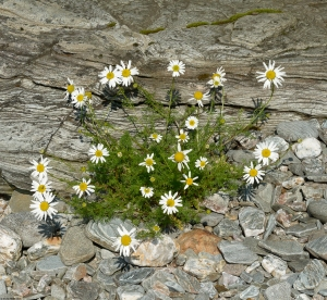 sea-mayweed-schist-pebbles