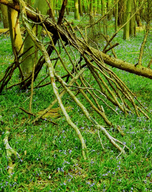 Bernwood Woodpile and Bluebells