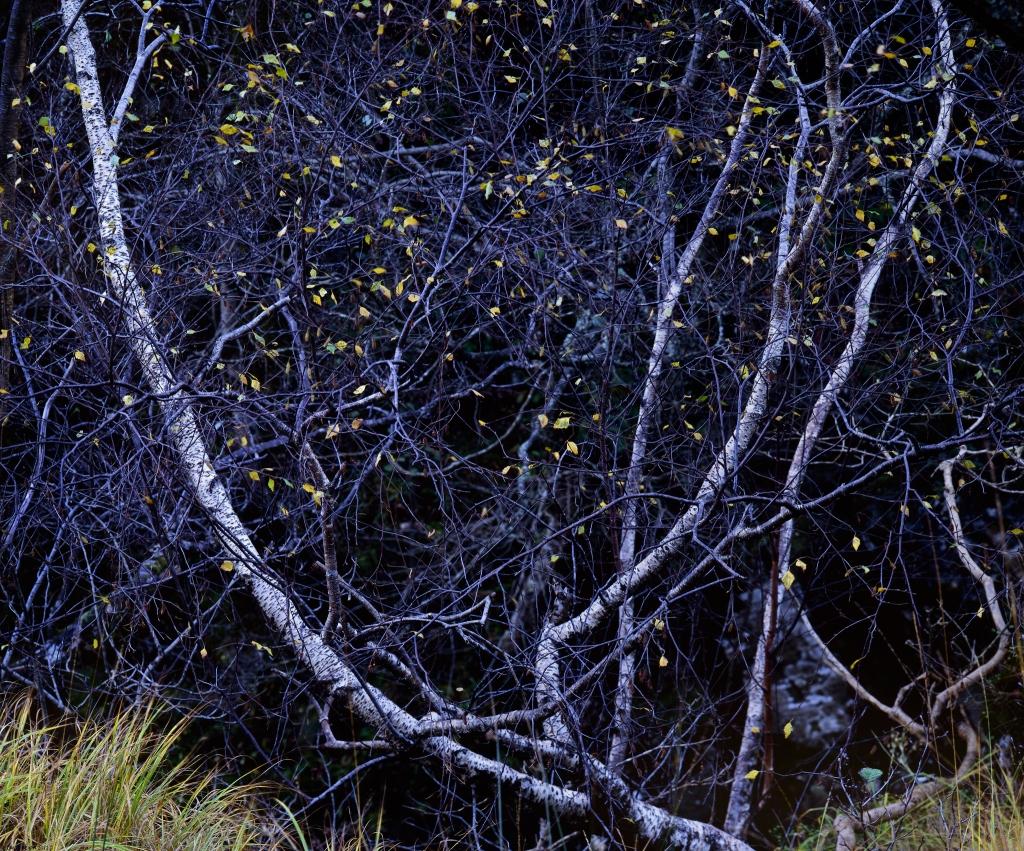 The Lyre Tree